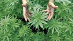 Cedro se mostró a favor del uso medicinal del cannabis - Noticias de milton rojas
