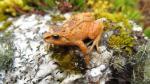 Tres nuevas especies de ranas son descubiertas en la selva peruana - Noticias de adn