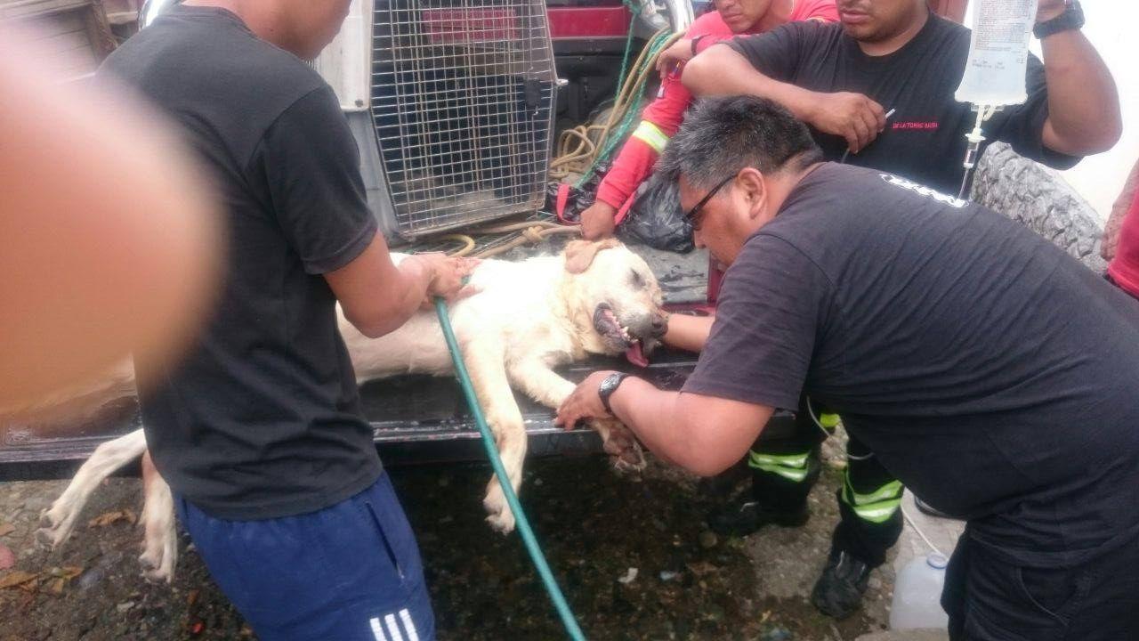 'Dayko', el perro que salvó vidas antes de perder la suya tras terremoto en Ecuador
